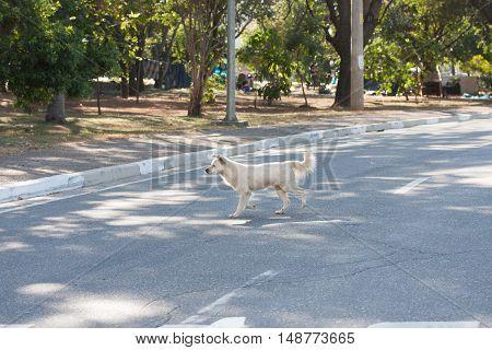 White crossbreed dog walking on asphalt street