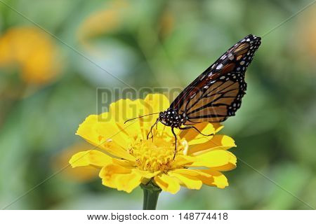 A Monarch butterfly landing on a yellow Zinnia.