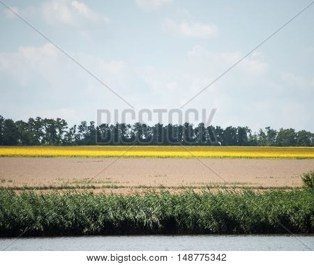 Yellow rapeseed flower field and blue sky near the river. Rapeseed field with forest far away.