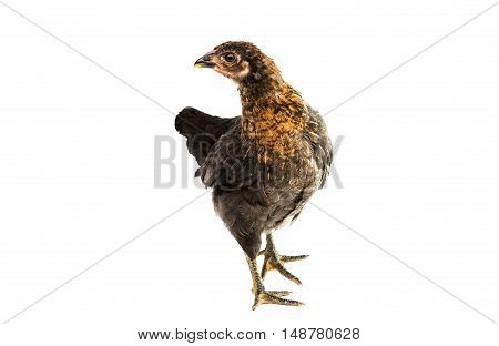 young chicken farm isolated on white background