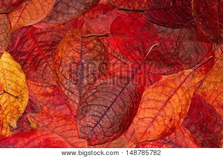 Background from autumn orange and red leaves