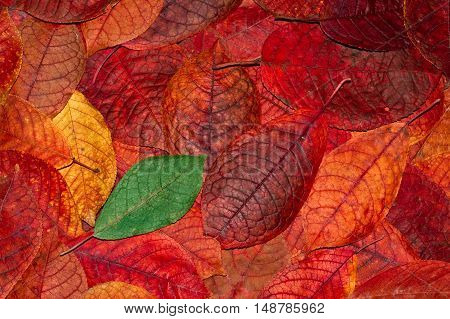 Background from autumn orange red and green leaves