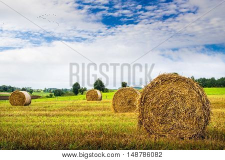 Birds fly over a field of haystacks. August countryside landscape. Masuria Poland.