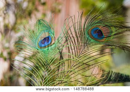 Exotic Indian peafowl tail eyes shining with isolated background