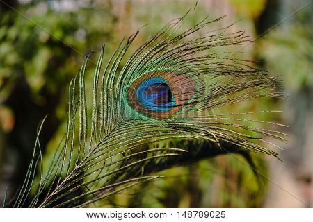 Indian peafowl tail eye shining and isolated