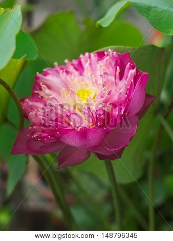 lotus Indian lotus sacred lotus bean of India or Nelumbo nucifera a national flower of India and Egypt