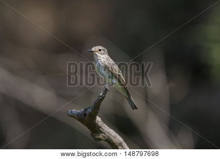 Portrait of flycatchers in the nature reserve of the Roman coast in Italy