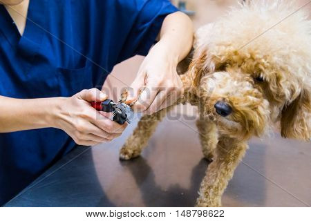 Vet Trim Cut Dog Nails At Clinic