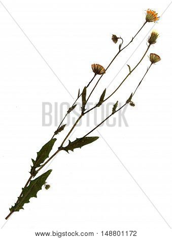 Pressed and dried flowers of common sowthistle (Sonchus oleraceus) on stem with leaves isolated on white background for use in scrapbooking floristry (oshibana) or herbarium.