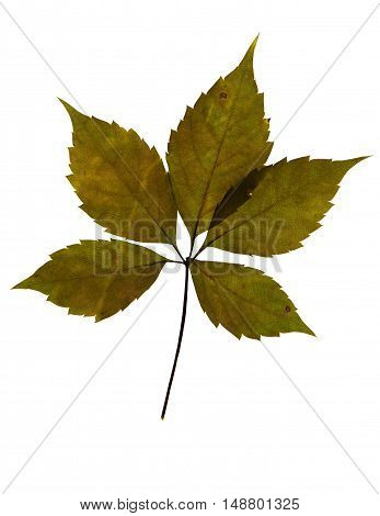 Pressed and dried leaf of Virginia creeper (Parthenocissus Quinquefolia) on white background for use in scrapbooking floristry (oshibana) or herbarium.
