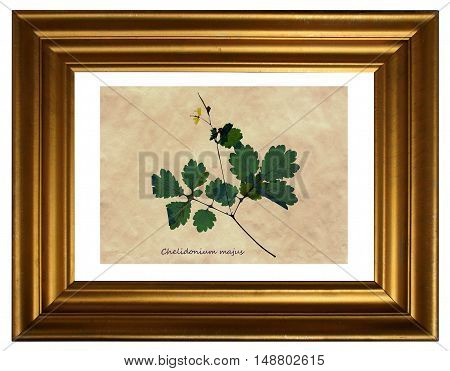 Herbarium from pressed and dried flower of greater celandine (Chelidonium majus) in the frame.
