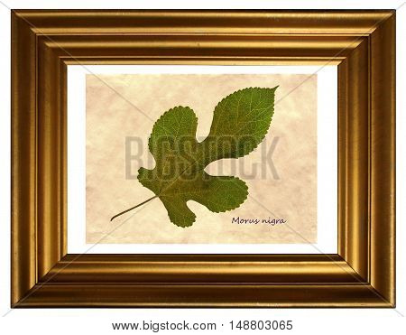 Herbarium from pressed and dried leaf of mulberry (Morus nigra) in the frame.