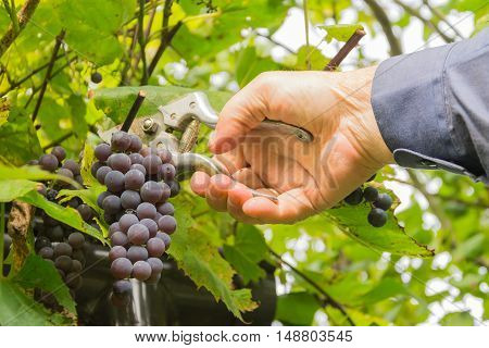 man harvesting grapes on grapevine with scissors