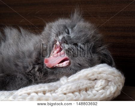 Funny cat yawns widely. Gray kitten fluffy wide open jaws