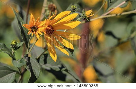 Dahlia Autumn flower design.With copy-space nice cool