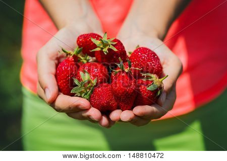 fresh strawberries in the hands over the field