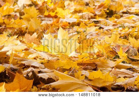 Colorful autumn maple leaves as background. Nature background