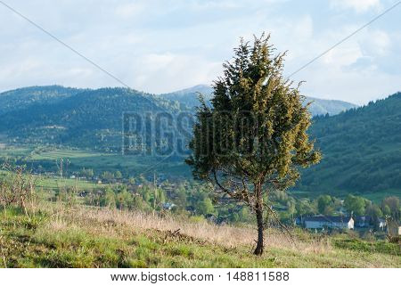 Tree (Spruce) on a background of mountains. Tree on a background of mountain village. Lonely tree.