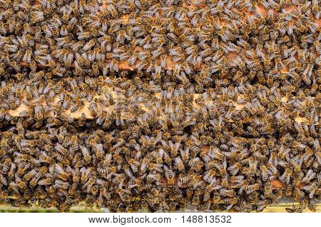 The bees inside the hive is placed on the combs. natural background.