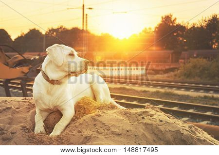 cute little labrador dog puppy sitting outdoors in the sunrise / sunset