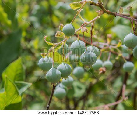 Huckleberries Growning On Bush