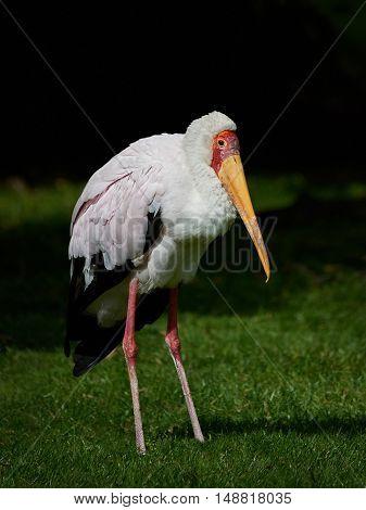 Yellow-billed stork (Mycteria ibis) standing in grass in its habitat