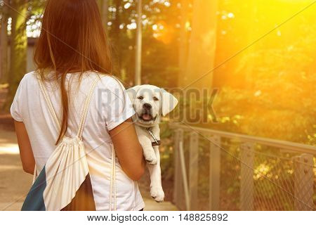 cute little labrador dog puppy is getting carried by a woman during sunset