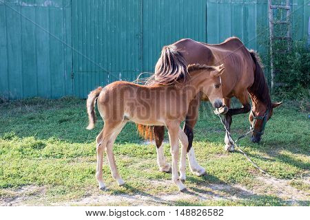 Little horse foal and its mother feed on green grass at farm countryside