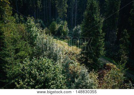 Walkway between spruce trees in hte Carpathians top from lift