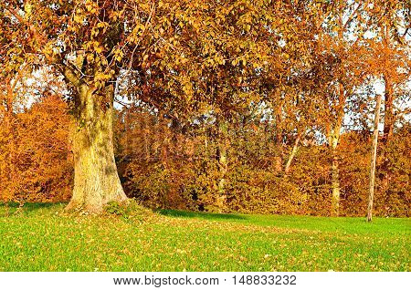 Autumn landscape of sunny autumn park. Yellowed autumn poplar in the park