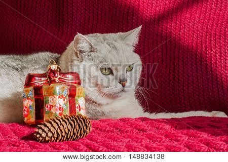 Adult white cat with a red knitted background with Christmas decorations and pine cones. With place for your text