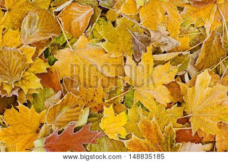 bright autumn leaves that are covered with frost