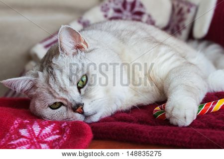 Lying tired white cat on a red background with a knitted mittens with bright Christmas lollipop