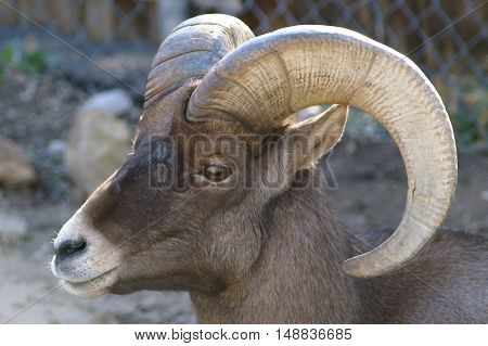A ram, pausing for a moment to enjoy the sun.