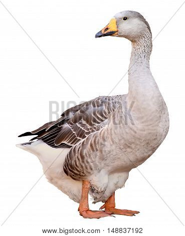 Domestic goose, Anser anser domesticus, isolated on white