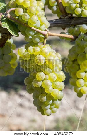 Bunch Of Green Grapes On Grapevine Right Before Harvest
