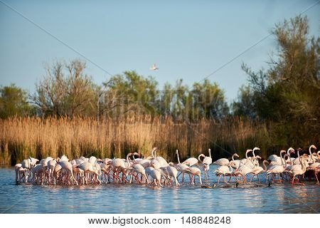 Group of european greater flamingos walking in shallow water of a swamp