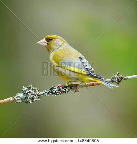 Beautiful male Greenfinch photographed in spring in Finland