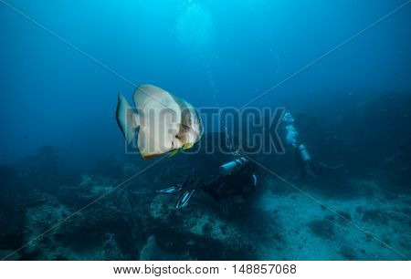 Group of scuba divers exploring sea bottom with big flat fish on foreground. Underwater life with beautiful rocks and coral