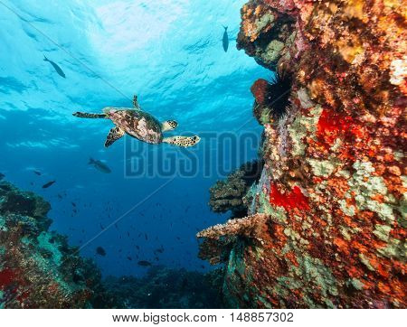 Hawksbill Sea Turtle flowing in beautiful coral reef