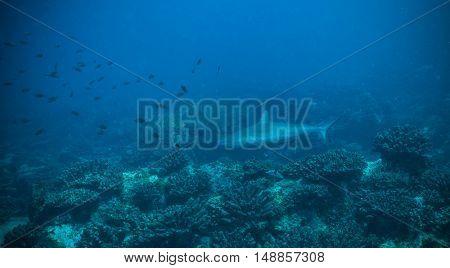 Baby of reef shark flowing in coral bottom