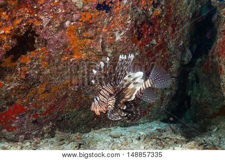 Lion fish, Pterois volitans flowing next to coral reef