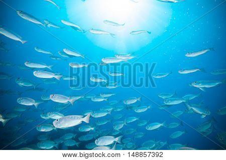 Flock of fish flowing in Indian ocean