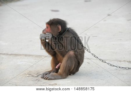 Brown Monkey In Chains