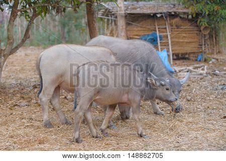 water buffalo eating grass on the fieldfarm.