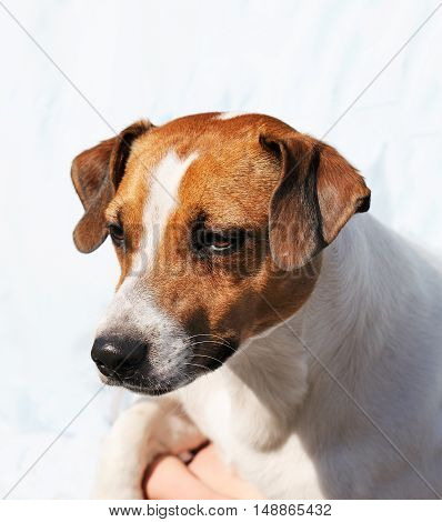 Young thoroughbred Jack Russell terrier dog portrait over blurry background