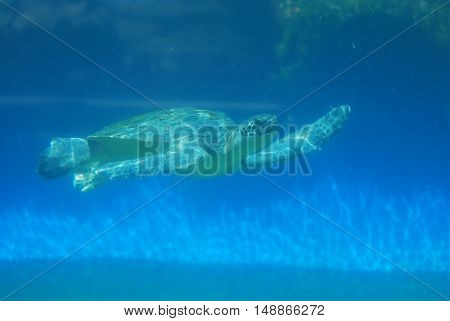 Sea turtle swimming along underwater in the deep blue sea.