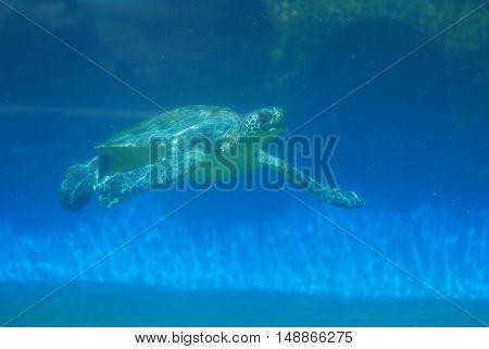 Amazing leatherback sea turtle swimming along underwater.