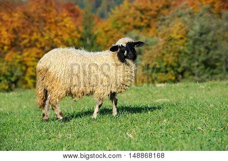 Close flock sheep on a autumn field