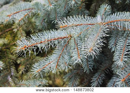 Blue spruce needles on a branch close-up
